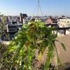 【DIY】コウモリラン(ビカクシダ)のハンギングの修理・作り方【後編】