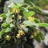 カシノキラン 立派な花が咲いていた