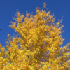 国道16号線の黄葉! (2020年11月14日現在)