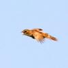 飛んでも囀り、降りても囀るオオセッカ