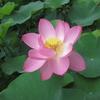 ハスの花咲く地蔵寺