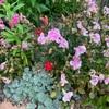 庭の片隅で 撫子