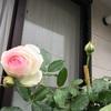 連休4日目 バラと一緒。
