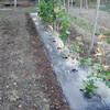 きゅうり畝の除草