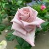 インリッチ開花
