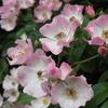 【ブログ休止中の振り返り】愛らしい一重つるバラ バレリーナの剪定と誘引