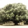 JARDIN BOTANICOの魅力的な大木