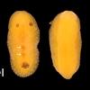 豊国崎で見つかったウミウシ