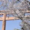 2020 一の坂周辺の桜 その壱(八坂神社)