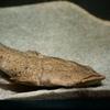 パカモン Lophiosilurus alexandri