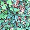 みどりの葉と枯葉