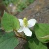 強烈な香りは生ごみのよう? 白い花に見える不思議な花ドクダミ
