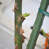 やっと芽が出た\(^o^)/「羽衣」