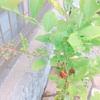 我が家のブルーベリーが死んだ?!肥料焼けしたブルーベリーの対処法。それはダメもとで植え替えるしかない。。。
