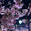 花も!だんごも!大阪造幣局 桜の通り抜けが開催中な話
