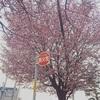 もうひとつの桜記録