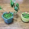 【育児】こどもと盆栽作り