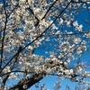 桜が綺麗でした!お花見ができるまで回復して良かった[パニック障害完治・改善]