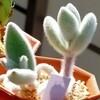🌵多肉植物   モフモフな白兎耳  他🌵