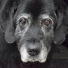 【アンケートまとめ】老犬の闘病・介護に関する飼い主の声(1)