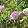 バラ栽培での殺虫剤に対する自分の考え方