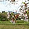 「芝桜の丘」の羊山公園へ行ってみたゴルフのない週末