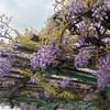 藤と桜と…