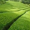 二番茶へ向けてお茶の樹をキレイに… ナラシ作業について