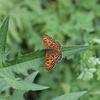 7/8/2017・コヒョウモンモドキをはじめ、木曽の草原は蝶でいっぱいでした