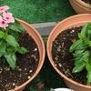 2-126   愛すべき花たち〜日々草もカラフルに!!〜