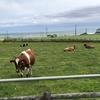 道東のホルスタイン 阿蘇の赤牛と似ています