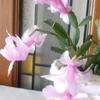 咲いたぁ咲いたぁシャコバサボテンの花が ♪