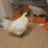 烏骨鶏の雄について知っておきたいことと、中雛の雌雄判別法