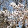 桜の時期になると…