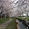 加治川治水記念公園の桜(新発田市)