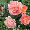 「まつこの庭」・初秋のバラ