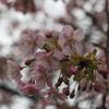 河津桜咲きました(笑)