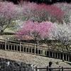 赤塚山公園 梅まつり 2015
