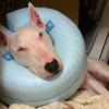 【犬版】ハナちゃんの動物病院 Complete⑥ ~診察記/闘病記~【獣医師、アトピー、アレルギー検査】