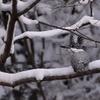 2月11日-雪中のヤマセミ & オシドリ