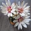 エレガントな花が今年も開花