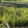 朝の散歩で神町小学校の稲栽培を見てきました。