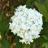 ヤエコデマリの花