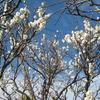 【出来事】庭の梅が見頃を迎えました
