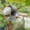 綿        Baumwolle