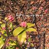ジンチョウゲ&春の芽吹きを感じるお庭