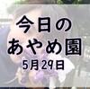 【あやめまつり】今日のあやめ園~5月29日~