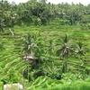 インドネシア旅行記【バリ編】 Ubud 1 day trip ライステラス RiceTettaceへ テガラランで棚田見学