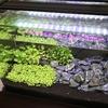 アクアリウム:水草を新たに投入&水槽のアレンジ ※アクアポニックスに挑戦!!