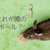 ウサギのボール遊びはあっという間に終了・・・